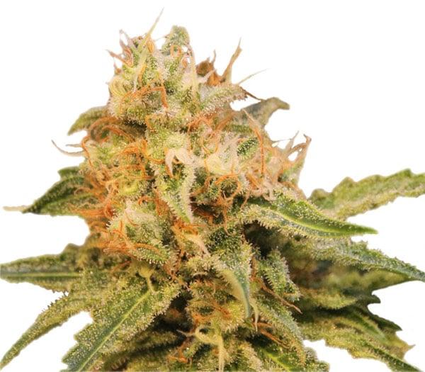up close of white trichomes and orange hairs, critical marijuana strain