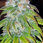 Big Bud Marijuana Strain Review