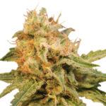 Cannabis strain. Cannabis leaf