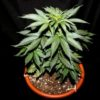 Marijuana plant in pot. Compare marijuana schools.