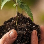 The Top Soils for Cannabis Growth