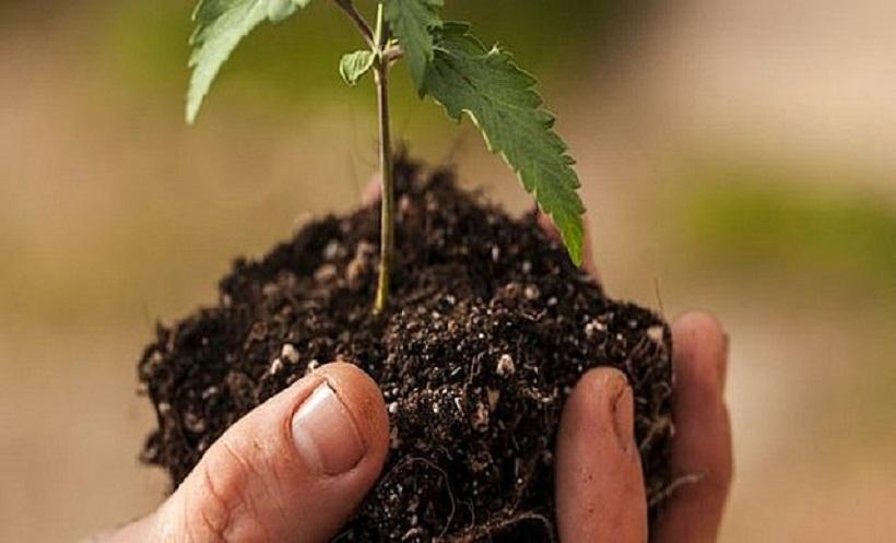 Cannabis Growth