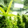 Best indoor marijuana hydroponic systems. Marijuana plants under lights indoors.