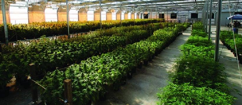 Marijuana Business practices. Indoor grow facility