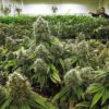 Seattle cannabis garden. Marijuana in Seattle.
