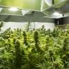 Top weed strains