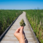 Craft marijuana. Craft weed. Craft cannabis.