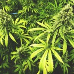 Cannabis strains. Outdoor cannabis plants