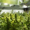 Indoor cannabis grow room