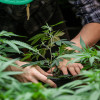 Top States To Get A Cannabis Grower License
