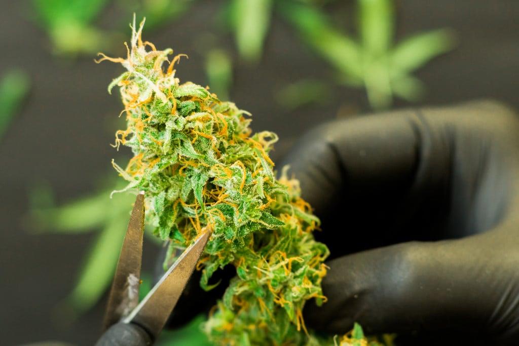Best Ways To Obtain A Marijuana Manufacturer Licenses. Marijuana plant
