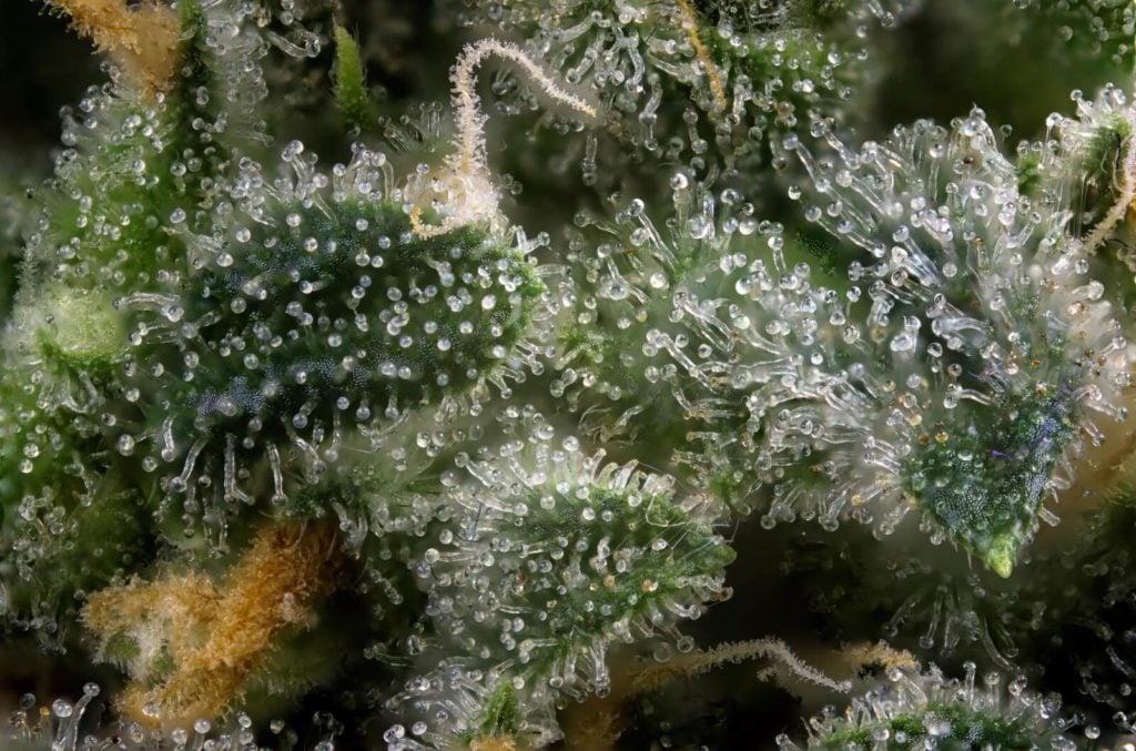 Best Cannabis Strains For Fall 2019. Marijuana germinating.