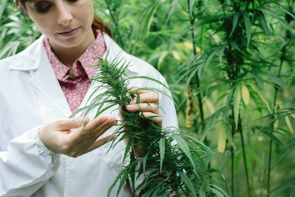 Misconceptions About Cannabis Cultivation. A woman inspecting a marijuana crop