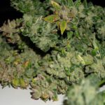 Top marijuana strains for hot climate