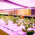 Methods of growing organic marijuana