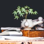 7 Cannabis strains to excite growers in 2020. Cannabis plant in a pot.
