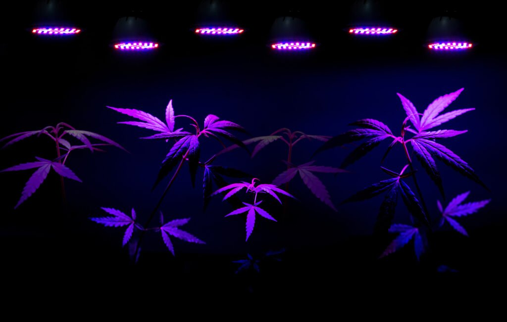 Top 10 LED Lights For Growing Cannabis. Weed plants under lights.