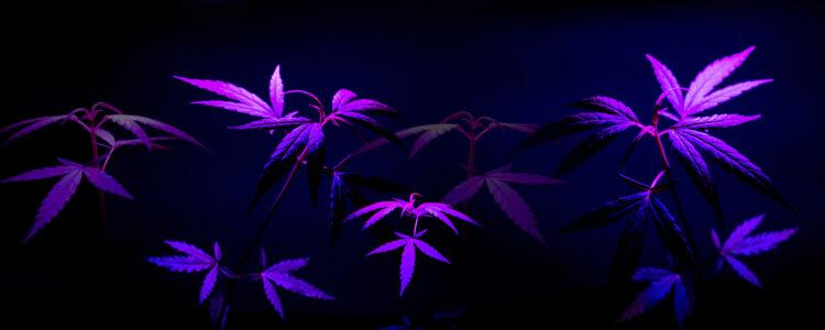 Top 10 LED Lights For Growing Marijuana 2020