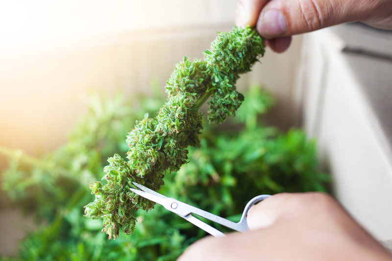 Marijuana trimming scissors trimming a bud.