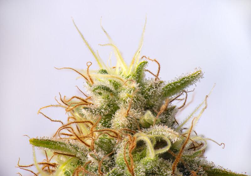 close up of marijuana strain, Mac 1 strain