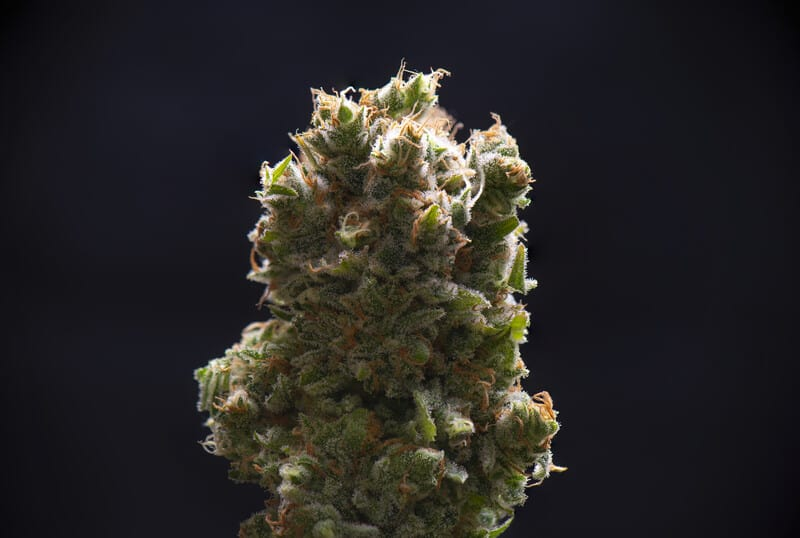 close up of sour diesel strain