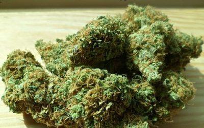 Cannabis Reports Gorilla Strain Bible (30 Gorilla Strains)