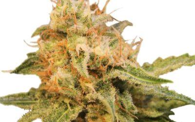 Critical Marijuana Strain Review & Complete Info