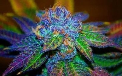 Top Marijuana Strains With Higher CBD Levels