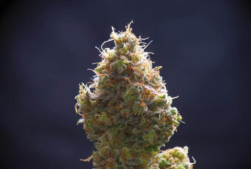 cannabis bud up close, lowryder strain