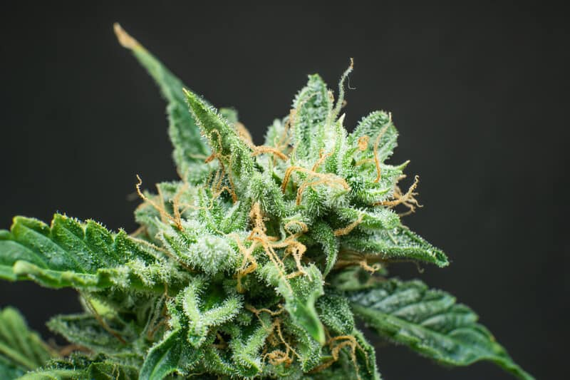 close up of a marijuana plant, motorbreath strain